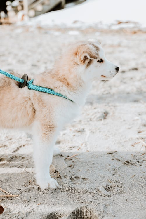 Cute fluffy Akita dog puppy in leash standing on sandy shore and looking away attentively