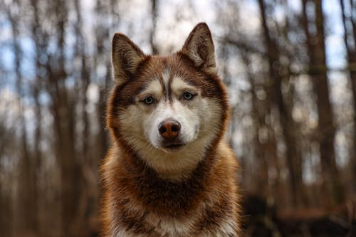 Brown and White Siberian Husky