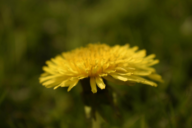 Free stock photo of beautiful flowers, dandelion, dandelion seed, flower