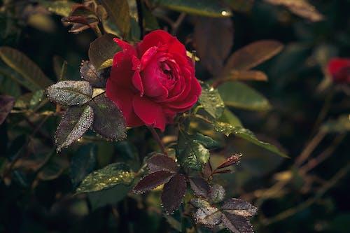 A Beautiful Rose in Bloom