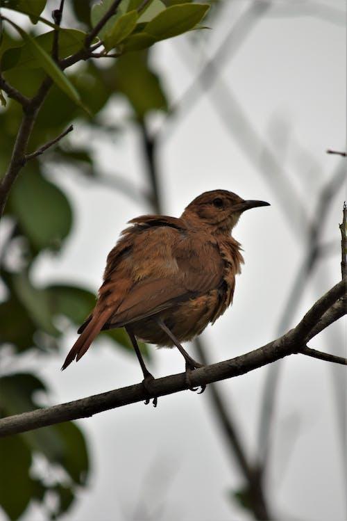 Free stock photo of ave, ave do cerrado, aves do brasil