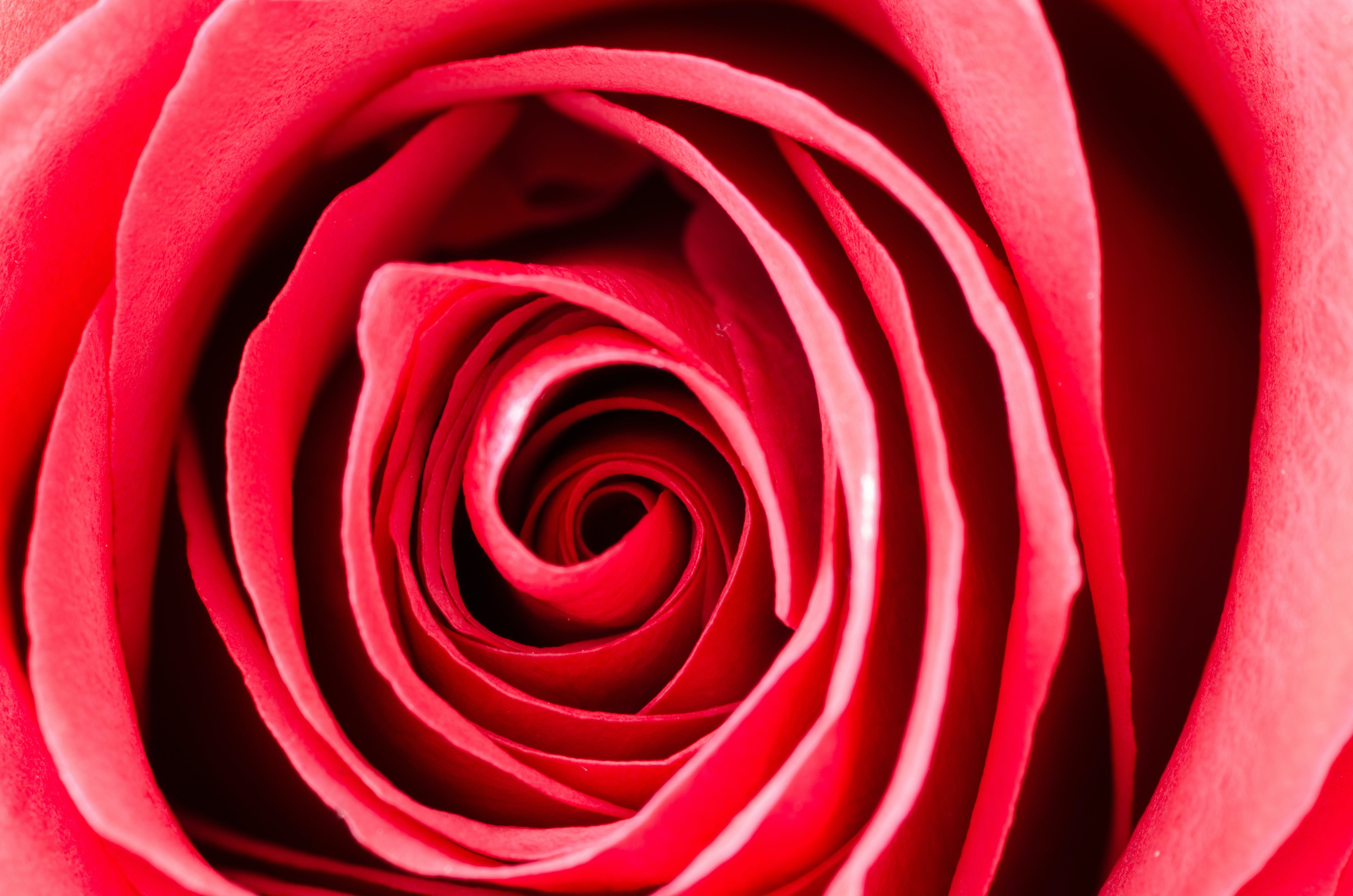 Photography of a Rose