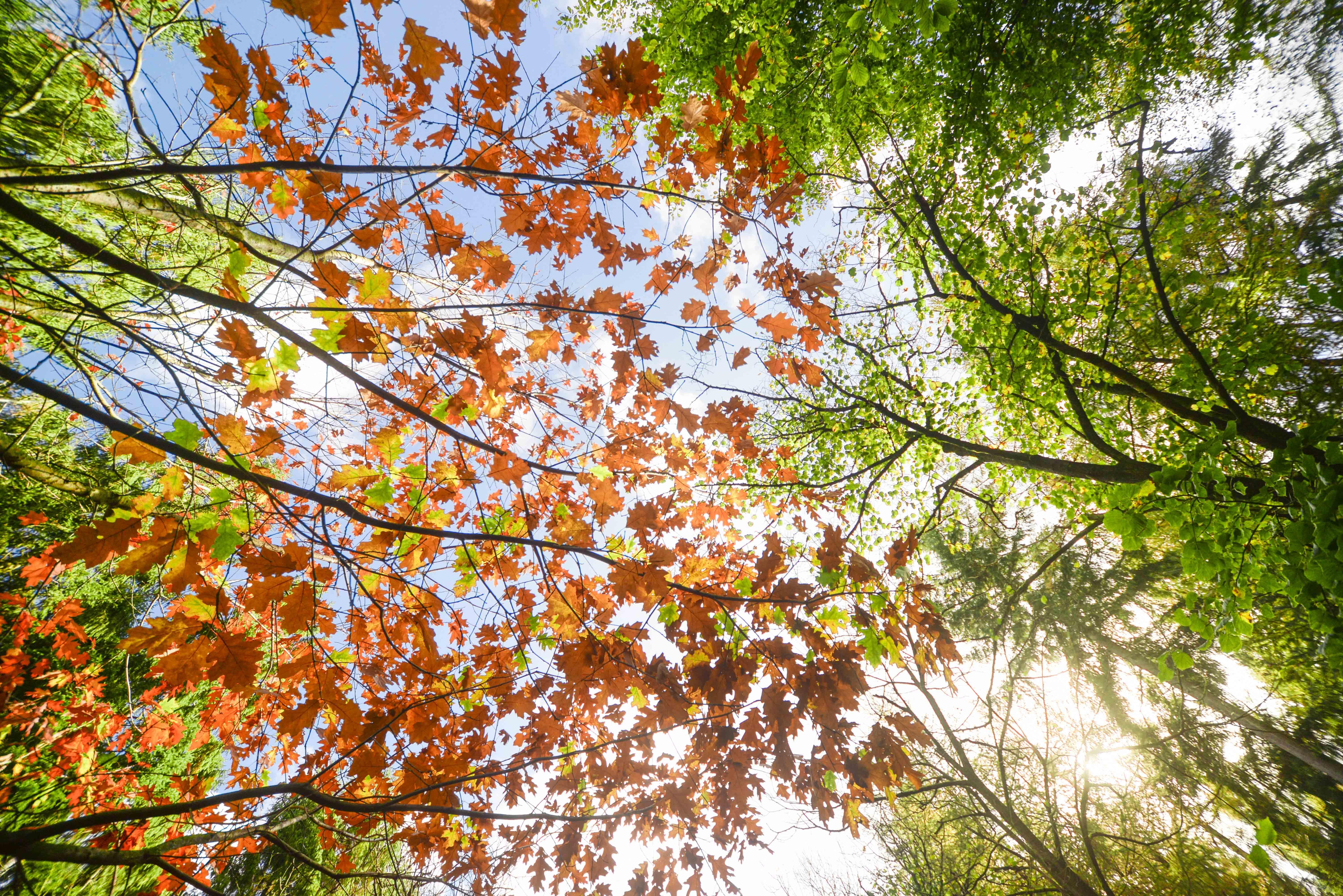 Kostenloses Stock Foto zu ahorn, ahornblätter, äste, bäume
