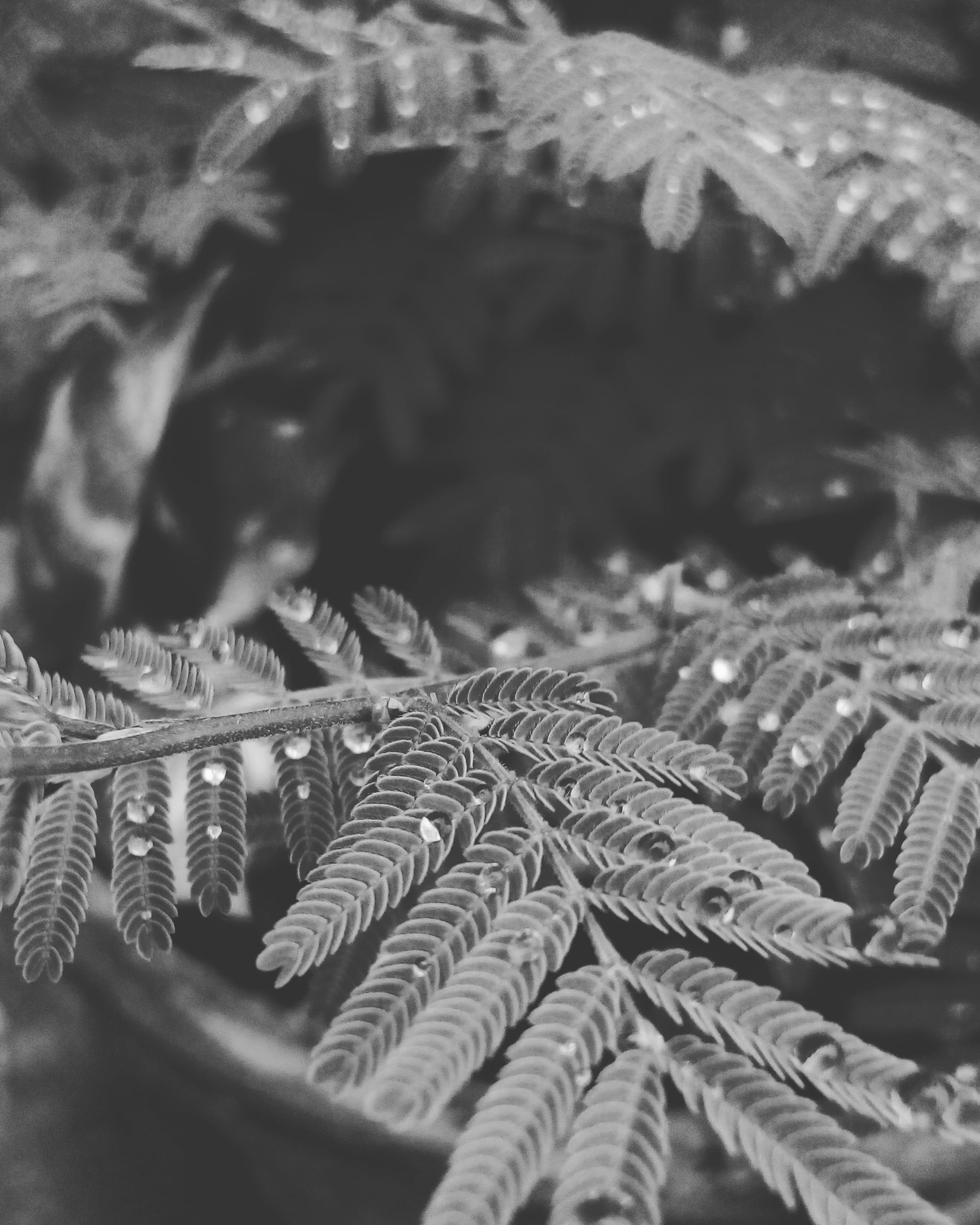 Grayscale Photo of Fern Plant With Dew Drops