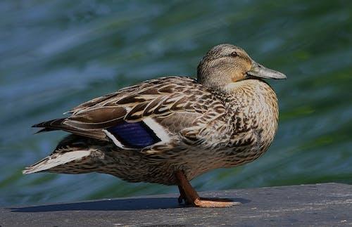 Close Up Shot of a Duck