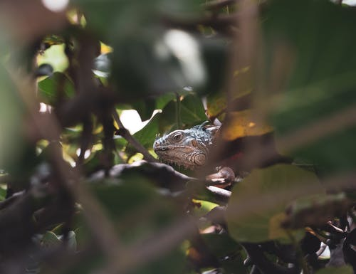 Iguana crawling on tree branches in forest