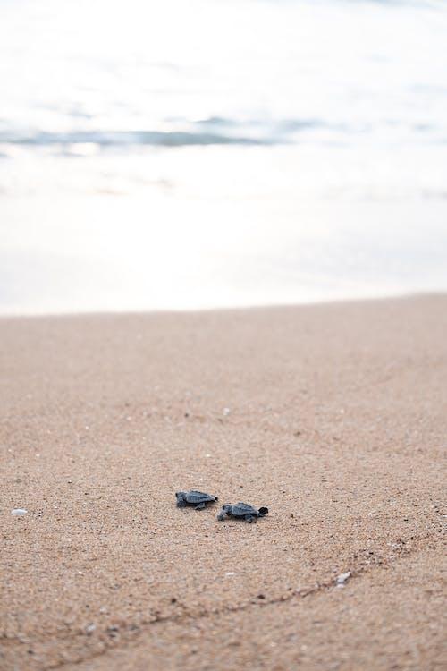 Tiny turtles crawling on sandy coast