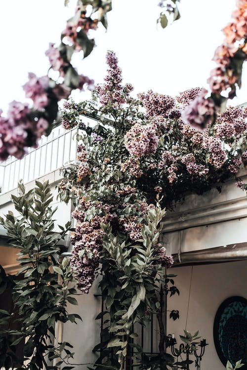 Low angle of blooming branches with lush flowers and green foliage growing on residential building