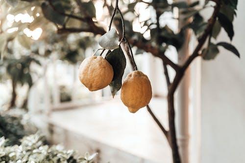 Tree with ripe lemons growing in garden