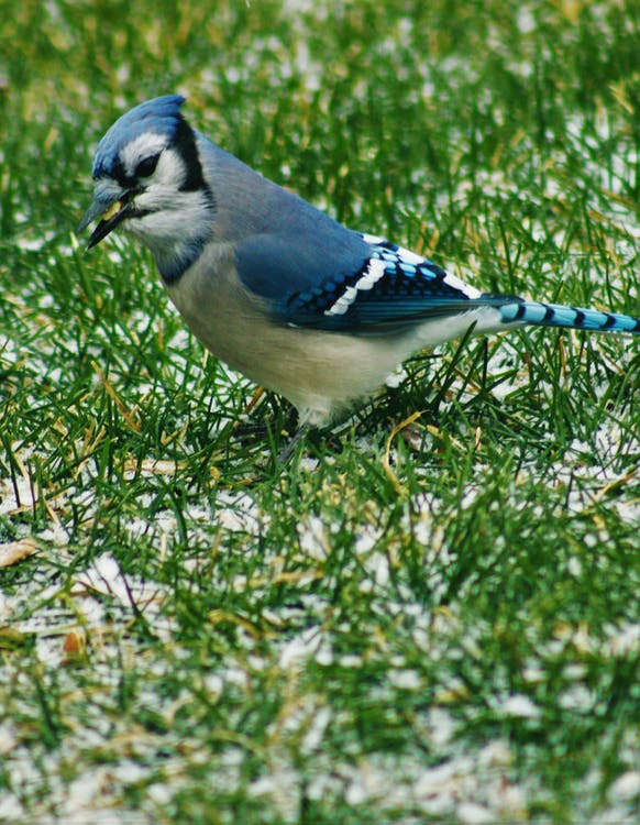 Blue And White Bird On Green Grass