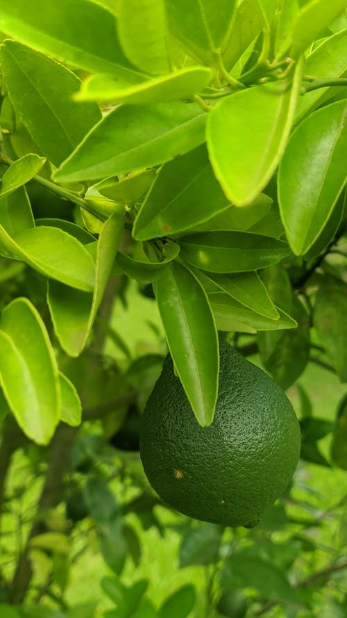 Free stock photo of green, lemon, lemons, tree