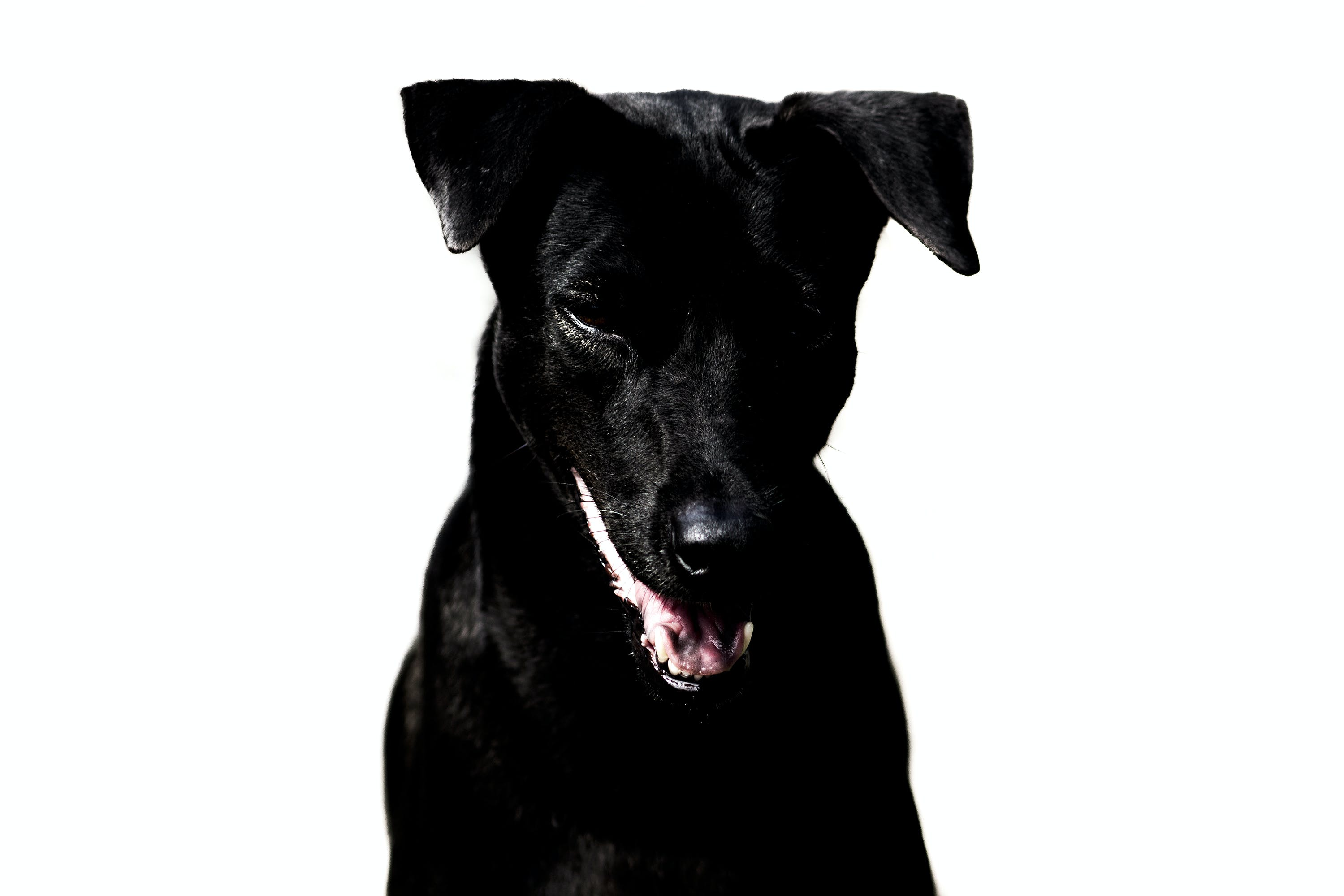 Free stock photo of dog, black, smile, front