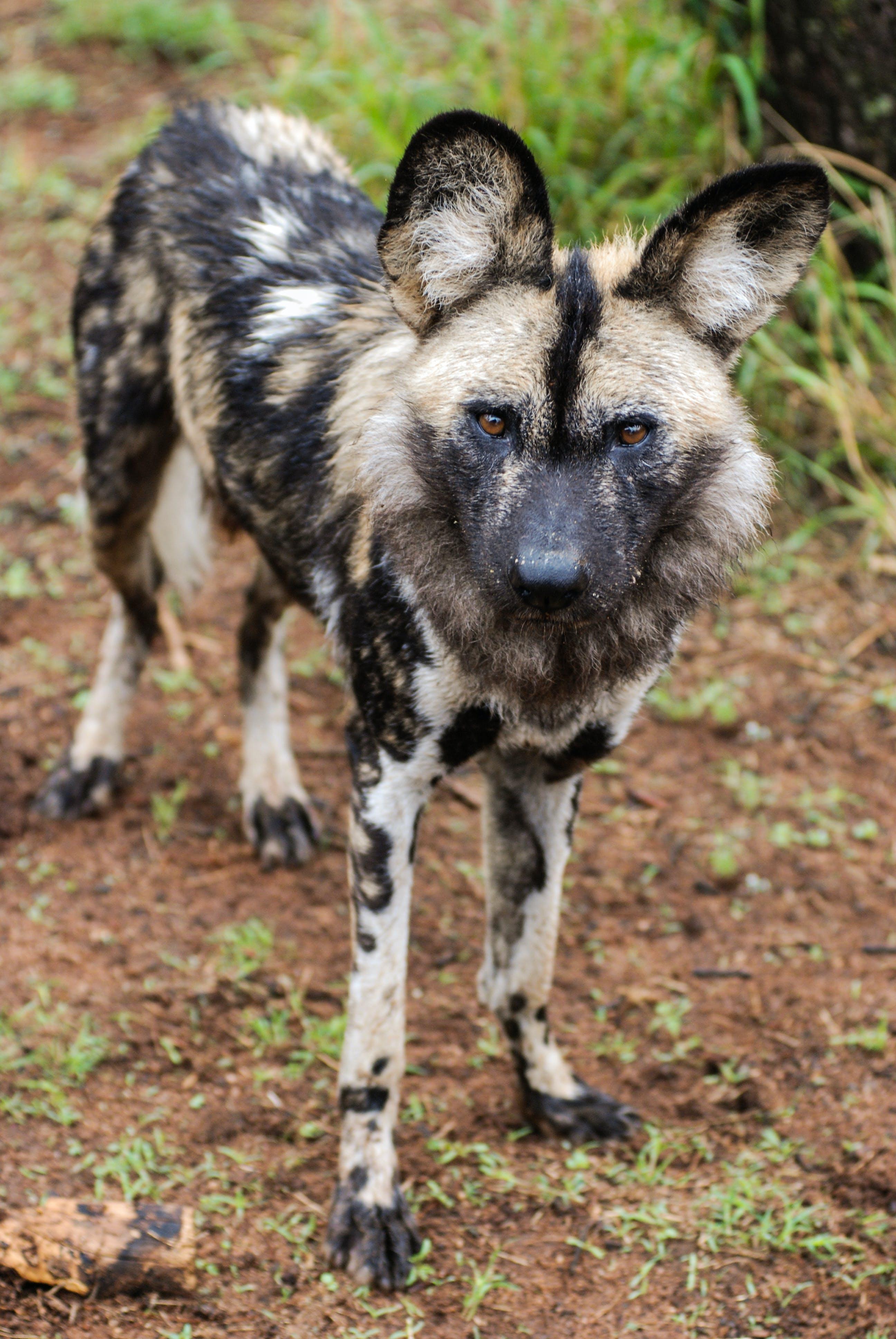Free stock photo of safari, wild animal, endangered species, african wild dog
