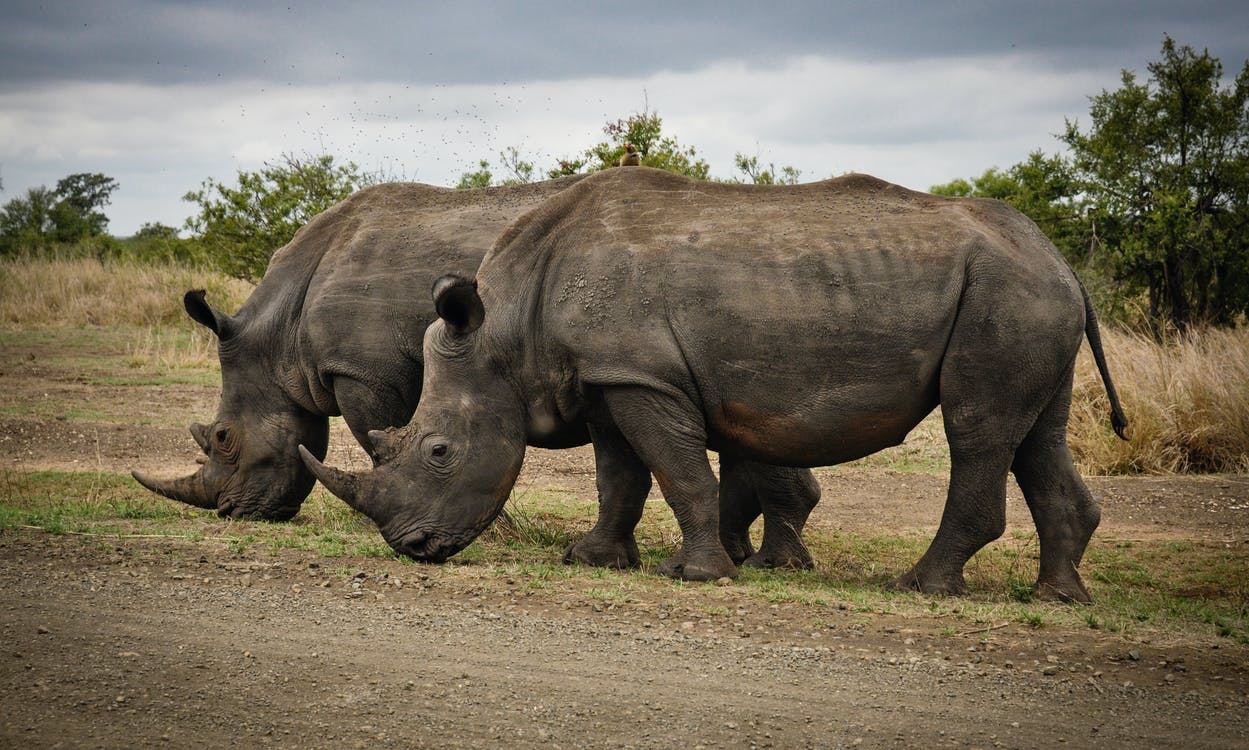 rhino - fourth of the heaviest animals in the world