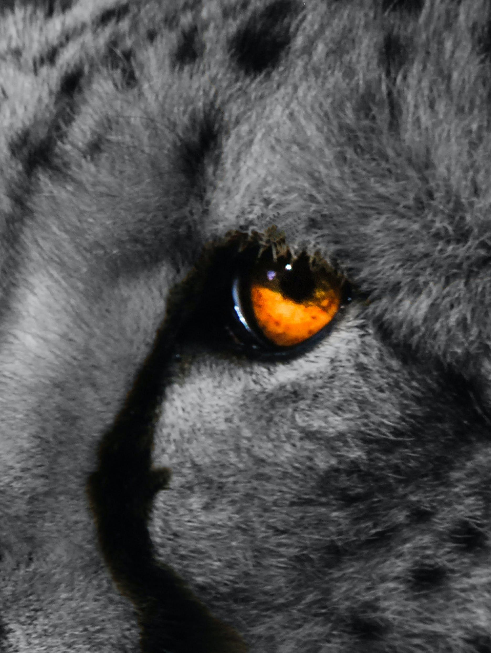 Free stock photo of cheetah, eye, wild animal in black and white