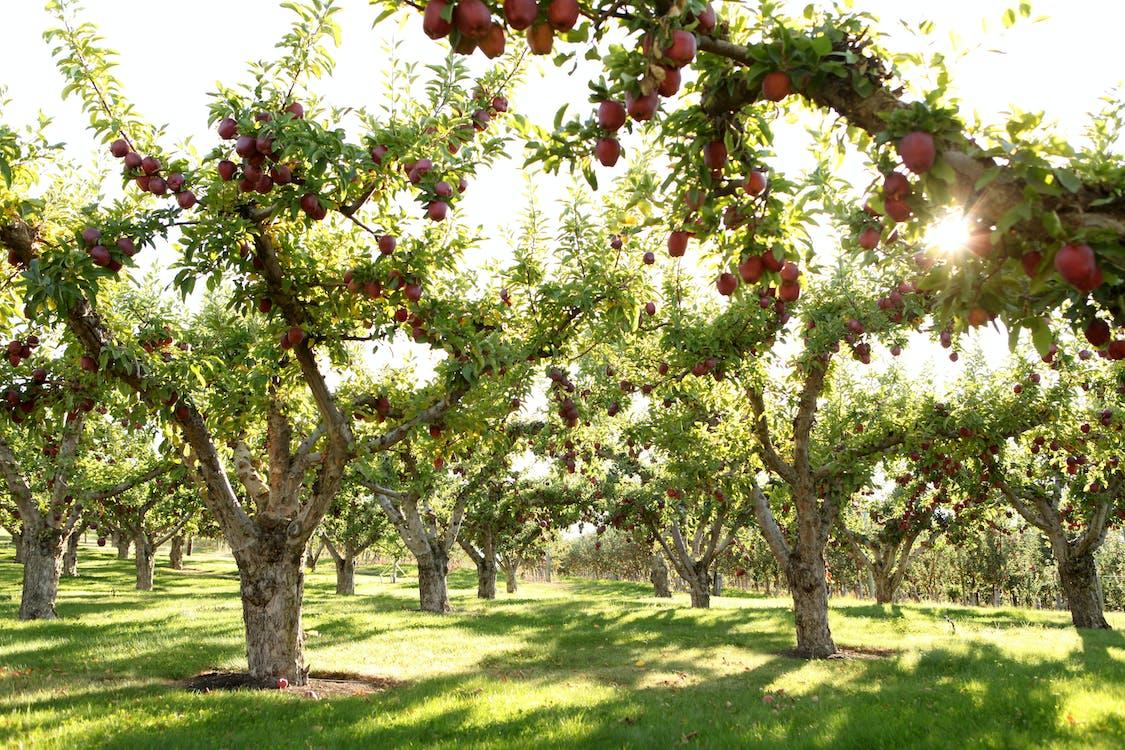 Free stock photo of apples, farming, field