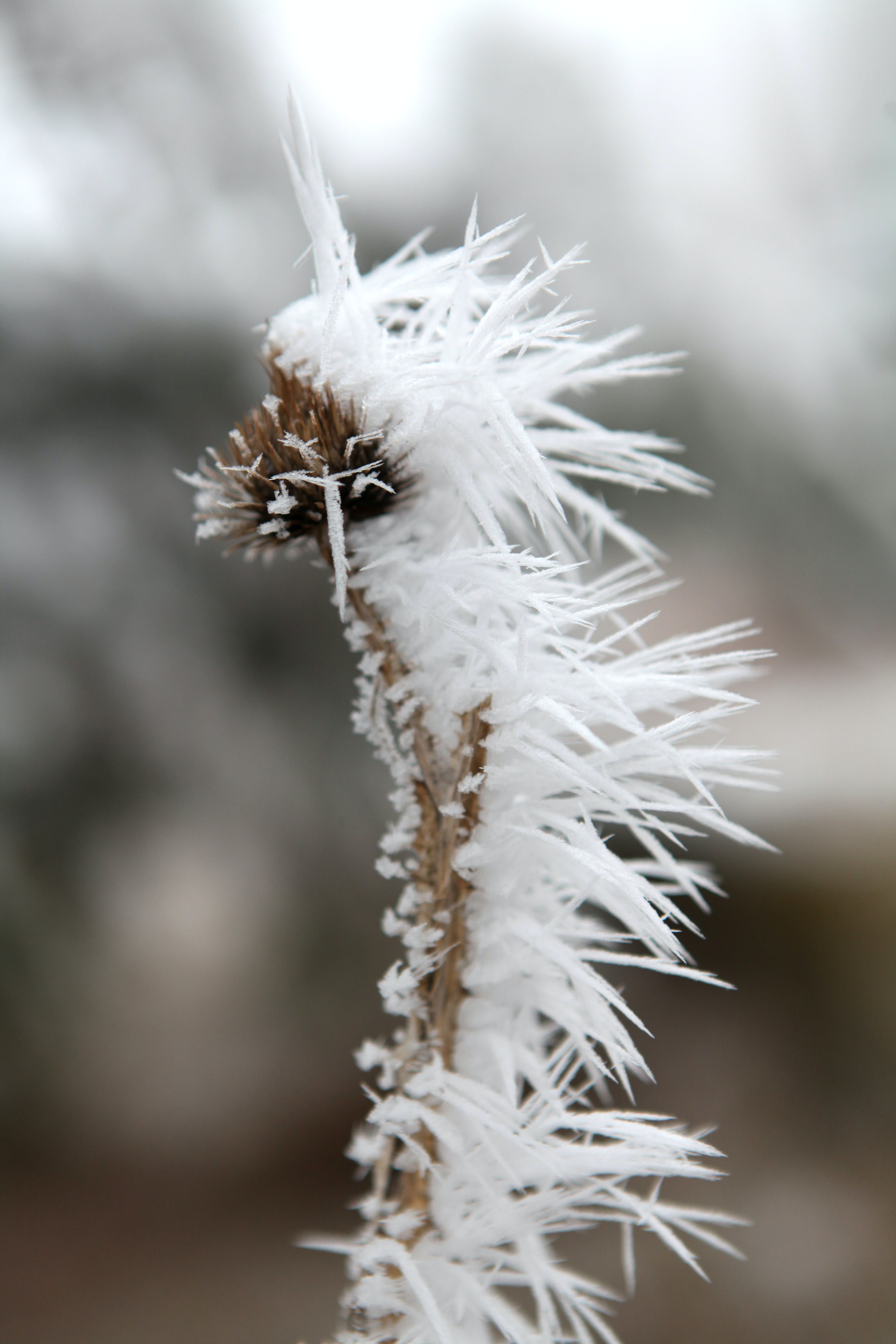 Free stock photo of cold, dead, flower, frost