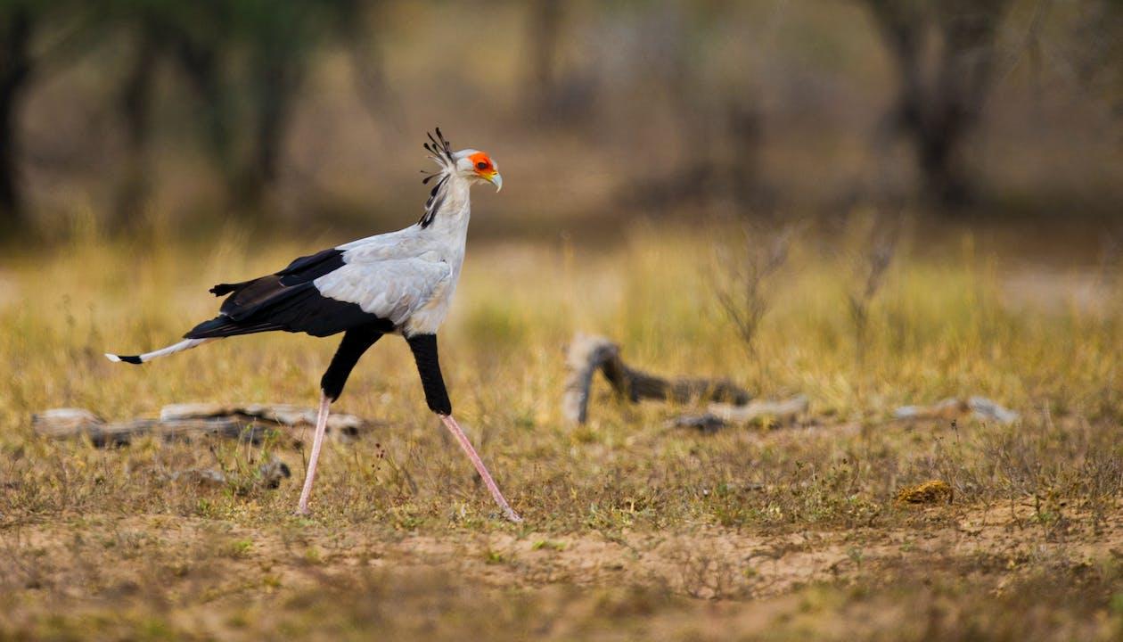 Free stock photo of safari, secretary bird, south africa