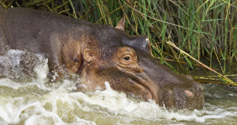 Free stock photo of wild, hippopotamus, safari, wild animal