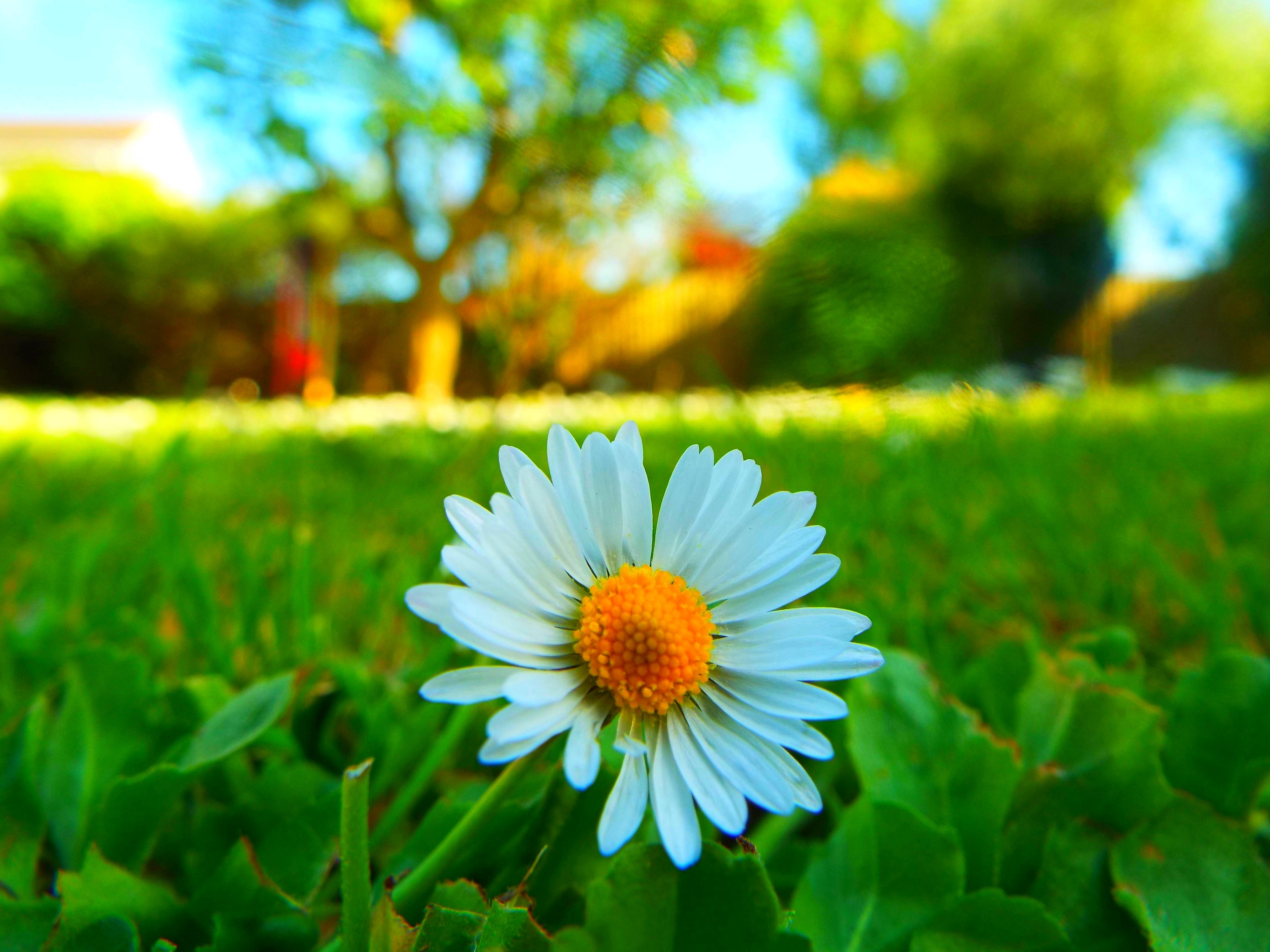 Základová fotografie zdarma na téma barvy, flóra, heřmánek, hřiště