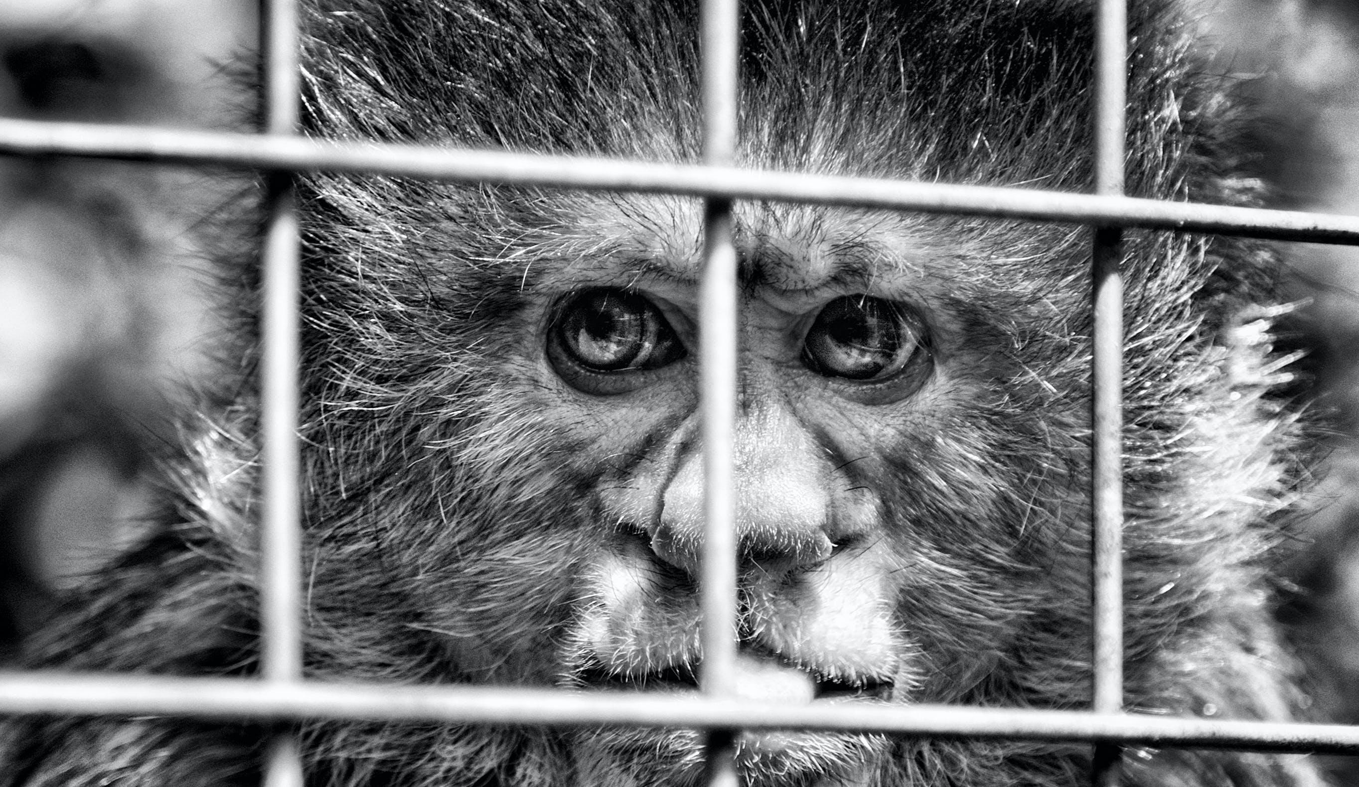 Free stock photo of captiveity, dp, looe monkey sanctuary, monkey