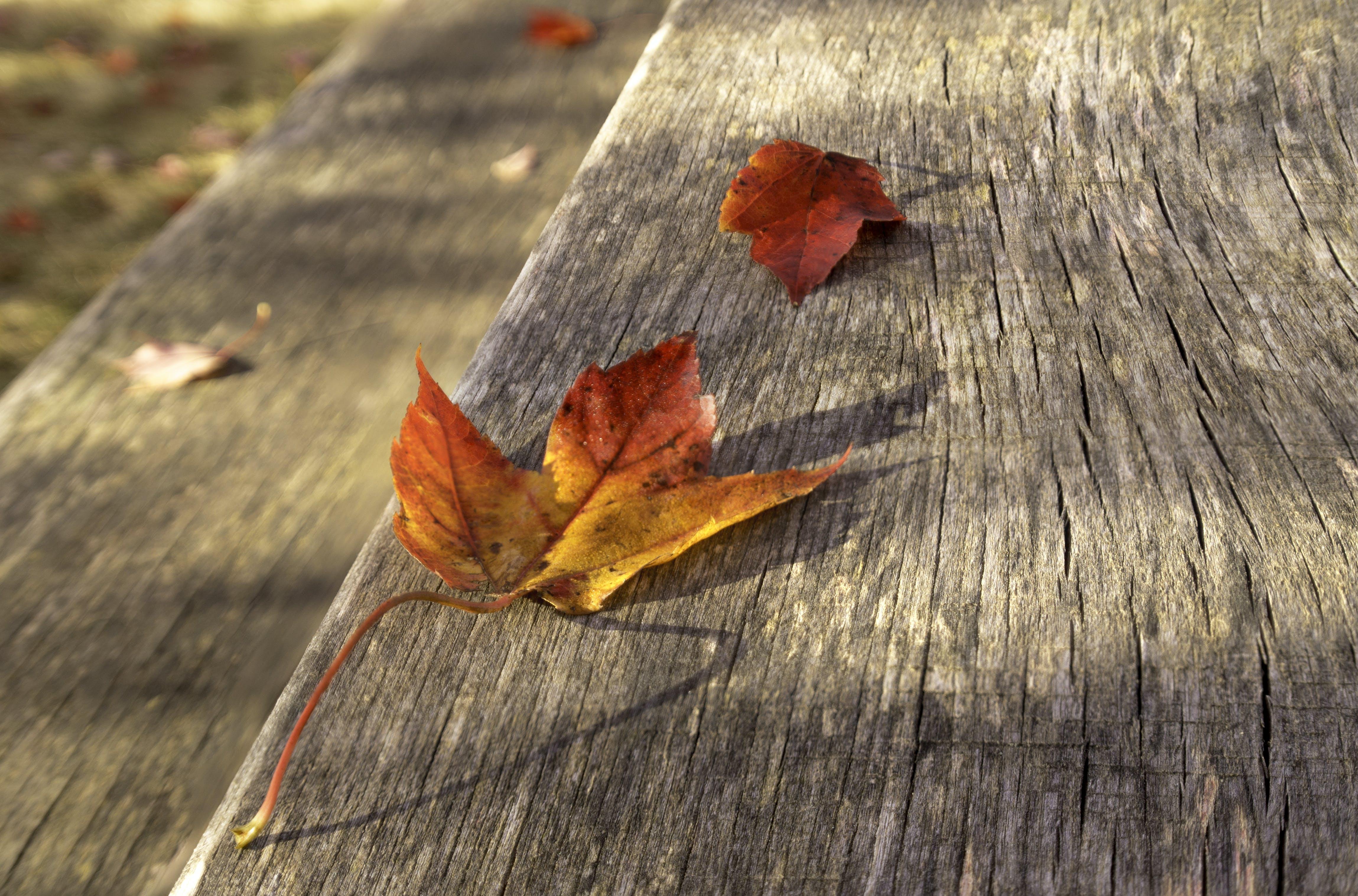 Free stock photo of autumn colors, autumn leaf, leaf, weathered