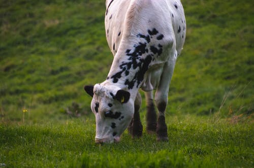 Free stock photo of animal, animal farming, animal photography, cow