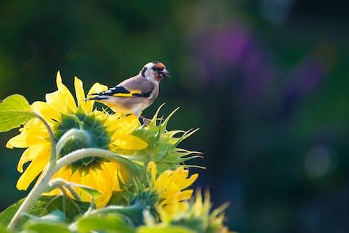 A Bird on the Sunflower