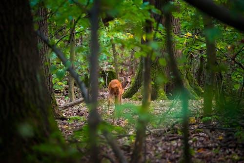 Free stock photo of roe deer