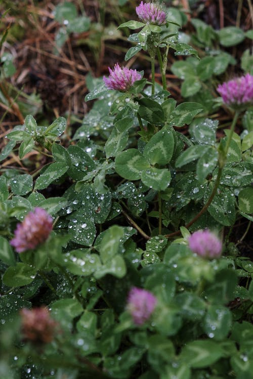 Blooming Red Clover Flowers