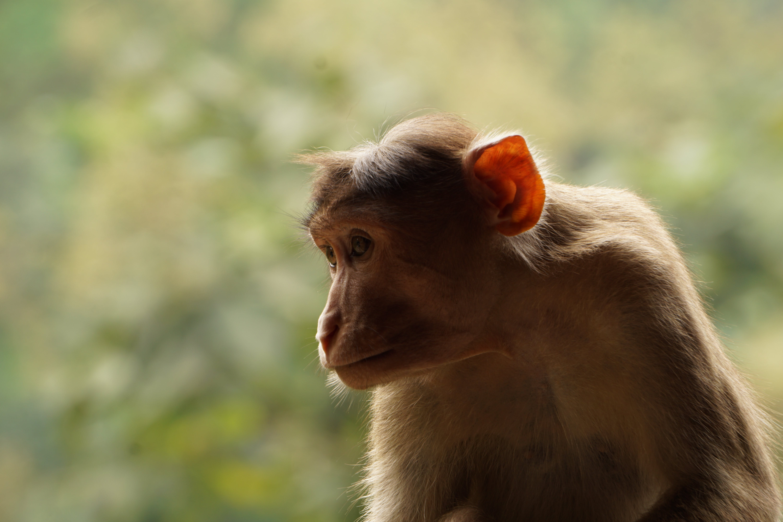 Free stock photo of animal, ape, features, monkey