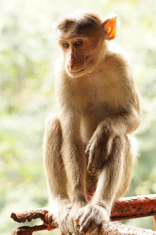 Безкоштовне стокове фото на тему «мавпа, особливості, тварина»