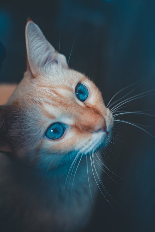 From above of cute cat with light red fur and tabby muzzle with blue eyes and attentive gaze sitting on blurred background