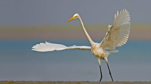 A Great Egret Bird Spreading Its Feathers