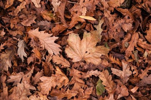 Gratis lagerfoto af ahornblade, efterårsblade, hakket, løv