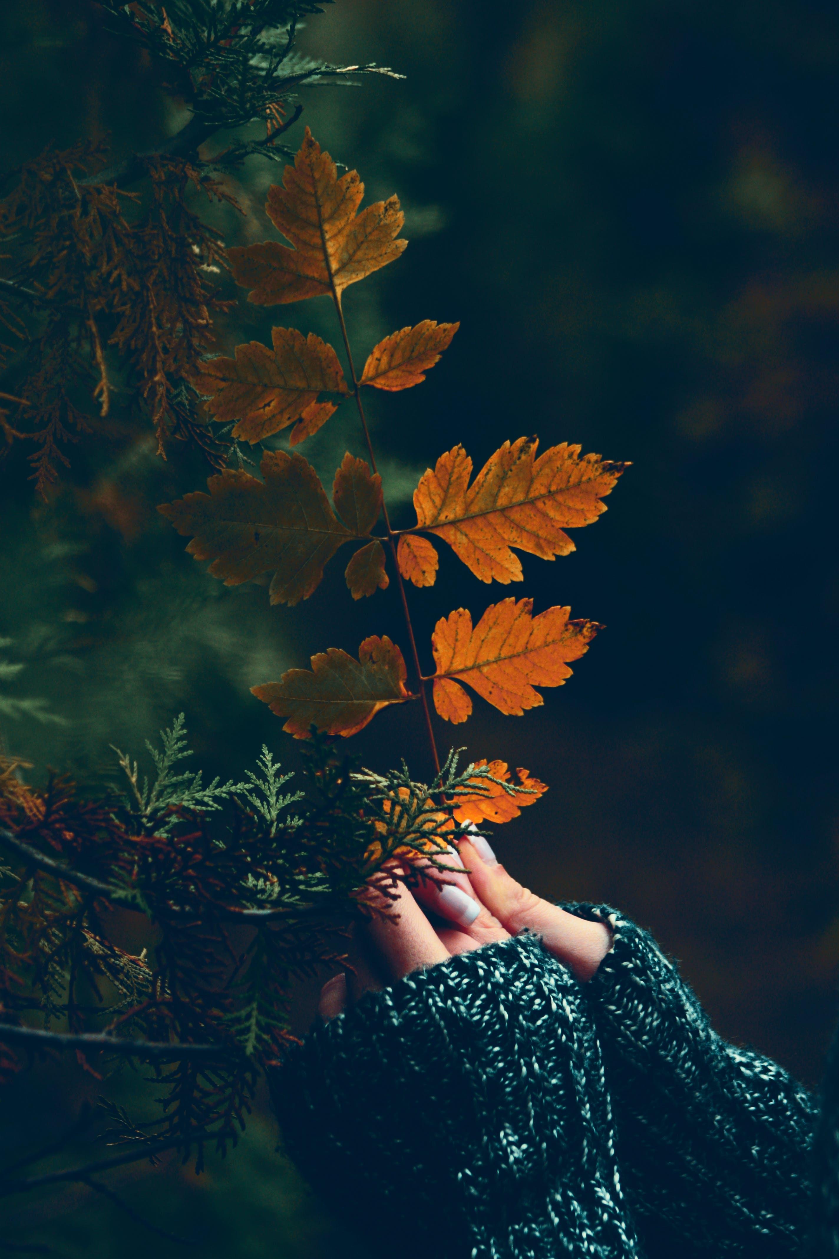 Person Holding Brown Bipinnate Leaves