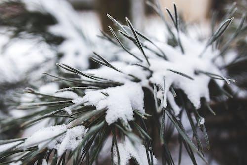 Безкоштовне стокове фото на тему «білий, відділення, вічнозелений, гілка»