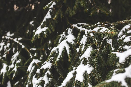 Evergreen spruce tree with fresh snow
