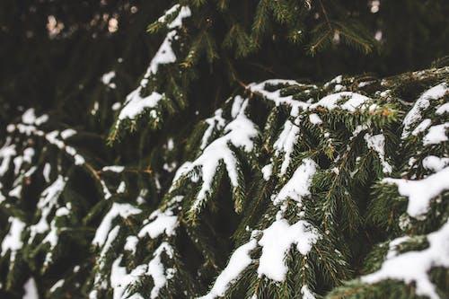 Ảnh lưu trữ miễn phí về cây thông, chi nhánh, mùa đông, Thiên nhiên