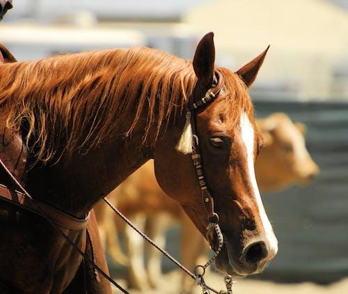 Ingyenes stockfotó állat, álló kép, barna, csődör témában