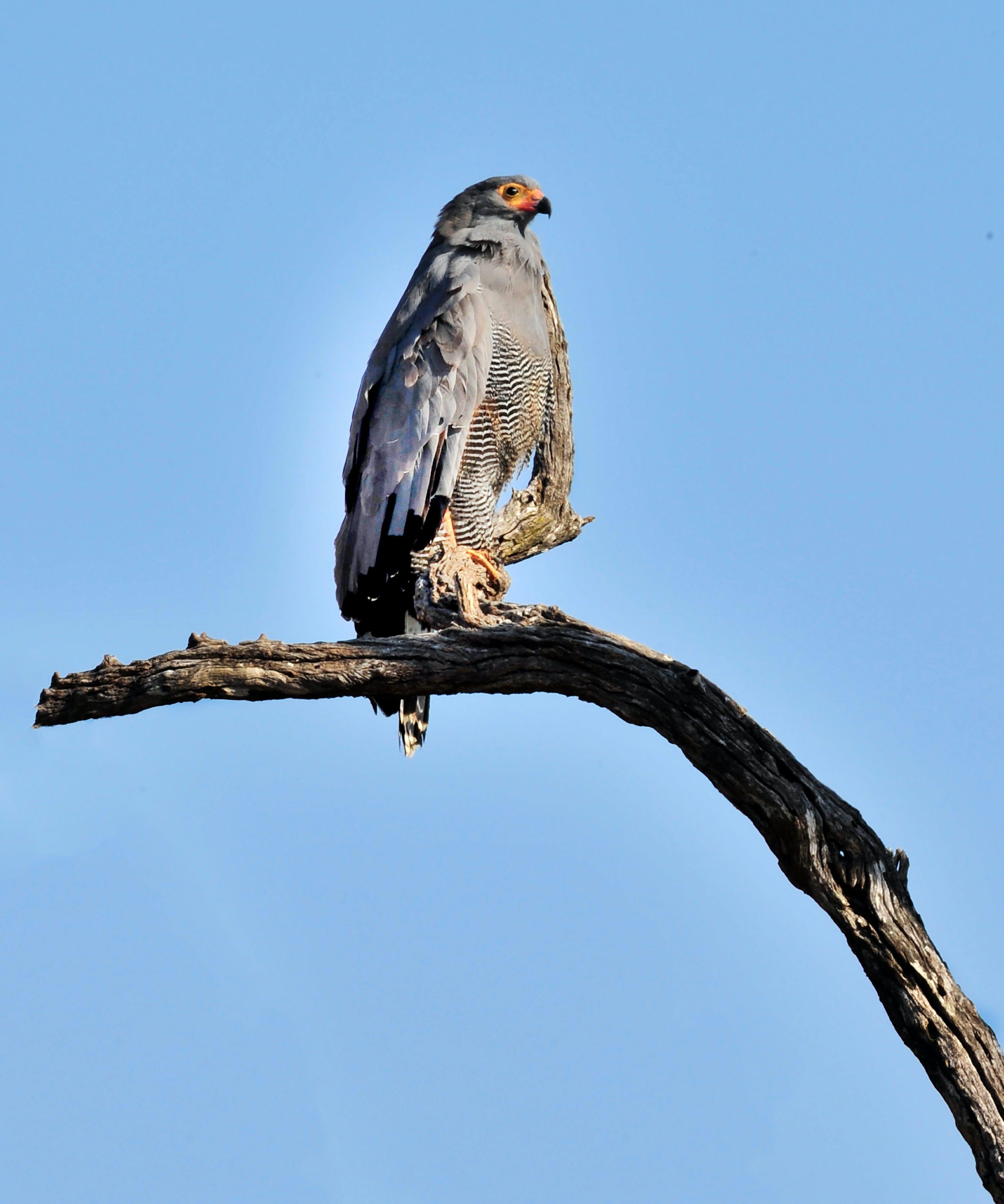 Gratis lagerfoto af sydafrika, vild fugl, ørn