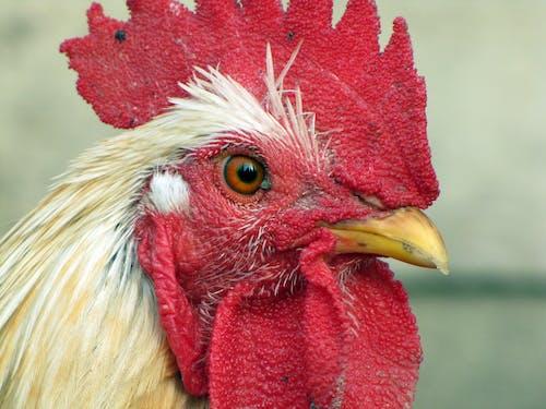 にわとり, コック, チキン, 動物の無料の写真素材