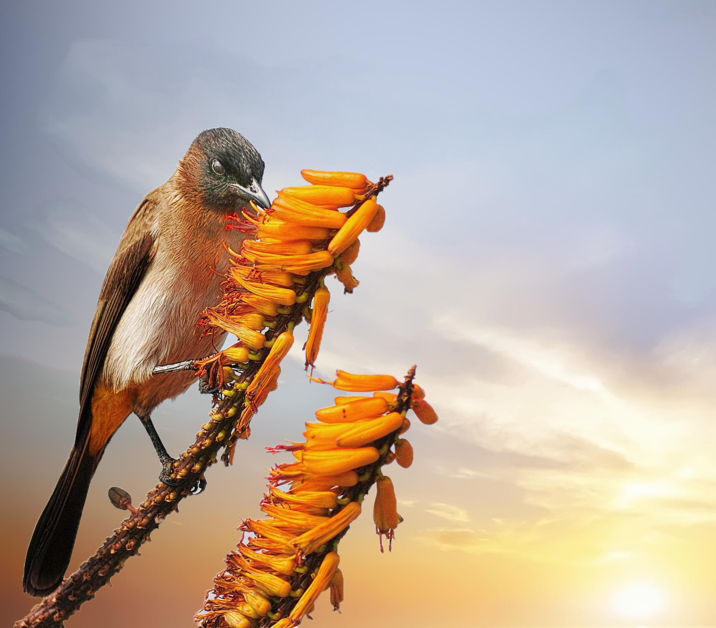 Πιπίλισμα πουλί