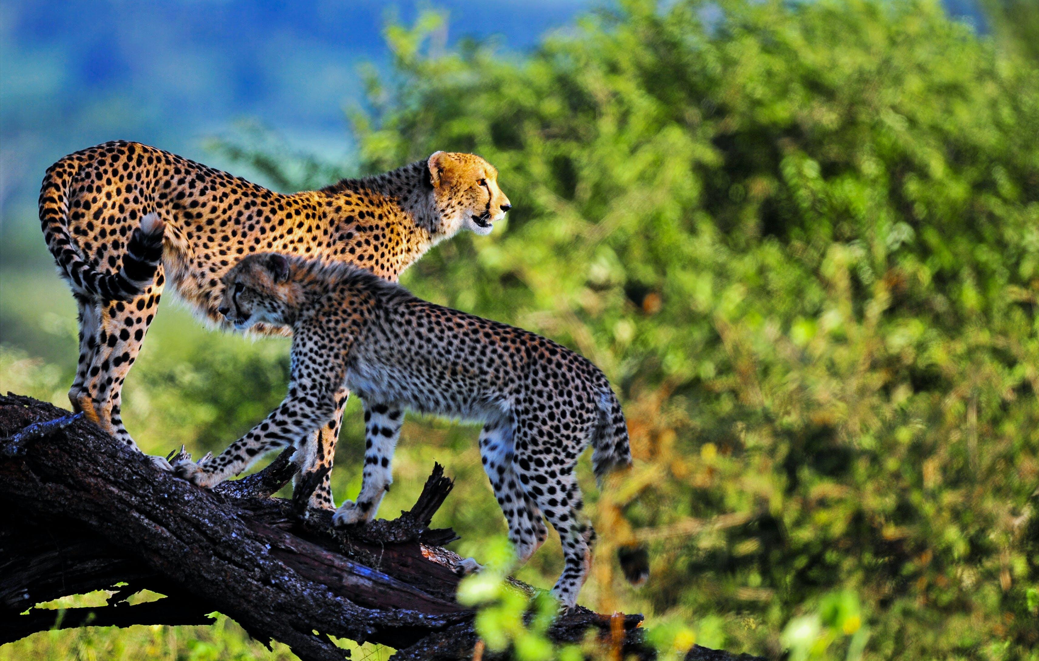 Free stock photo of wild, cheetah, wild animals