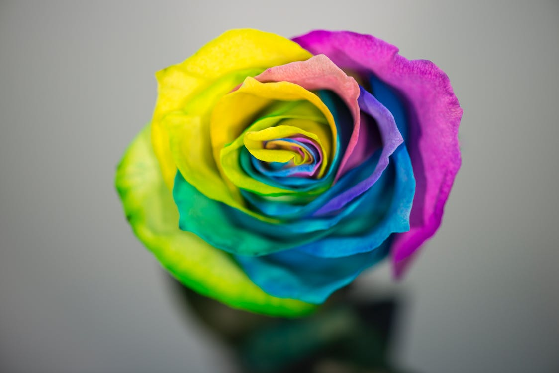 colored rose, flower, rose