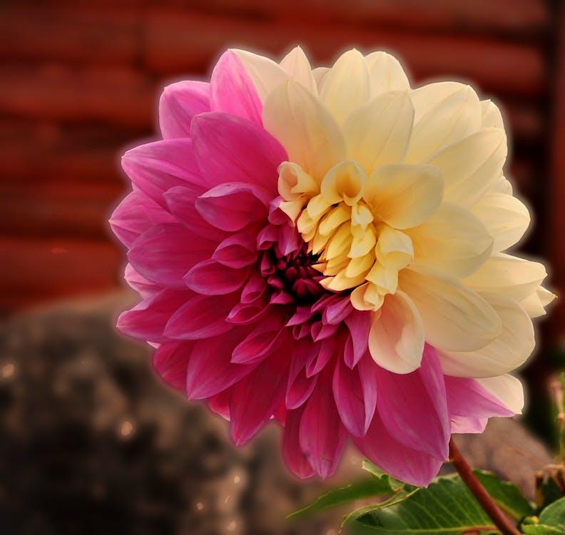 Foto Stok Gratis Tentang Bunga Bunga Dahlia Dahlia