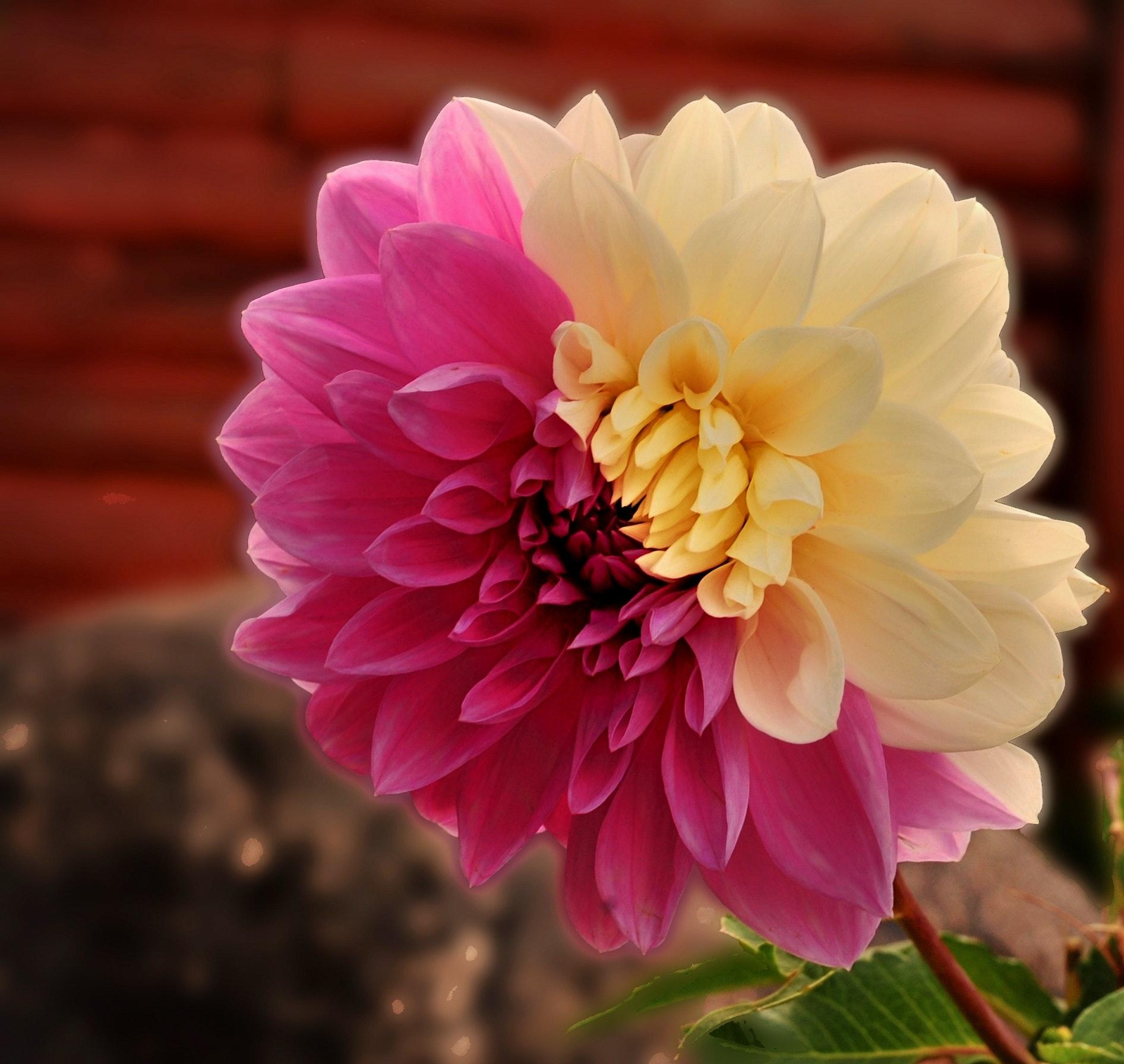 Free stock photo of dahlia flower split tone flower free download izmirmasajfo