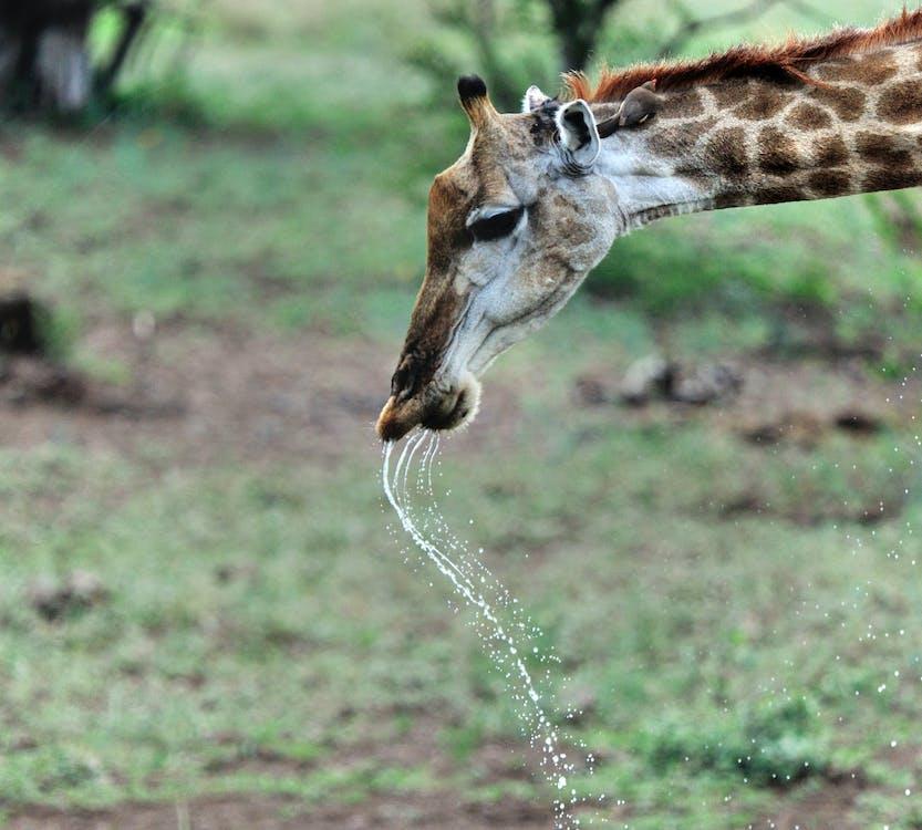 Free stock photo of thirsty, thirsty giraffe, wild animal