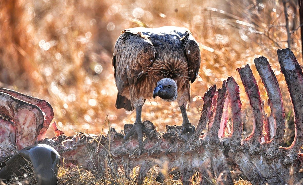 Free stock photo of bird of prey, scavenger