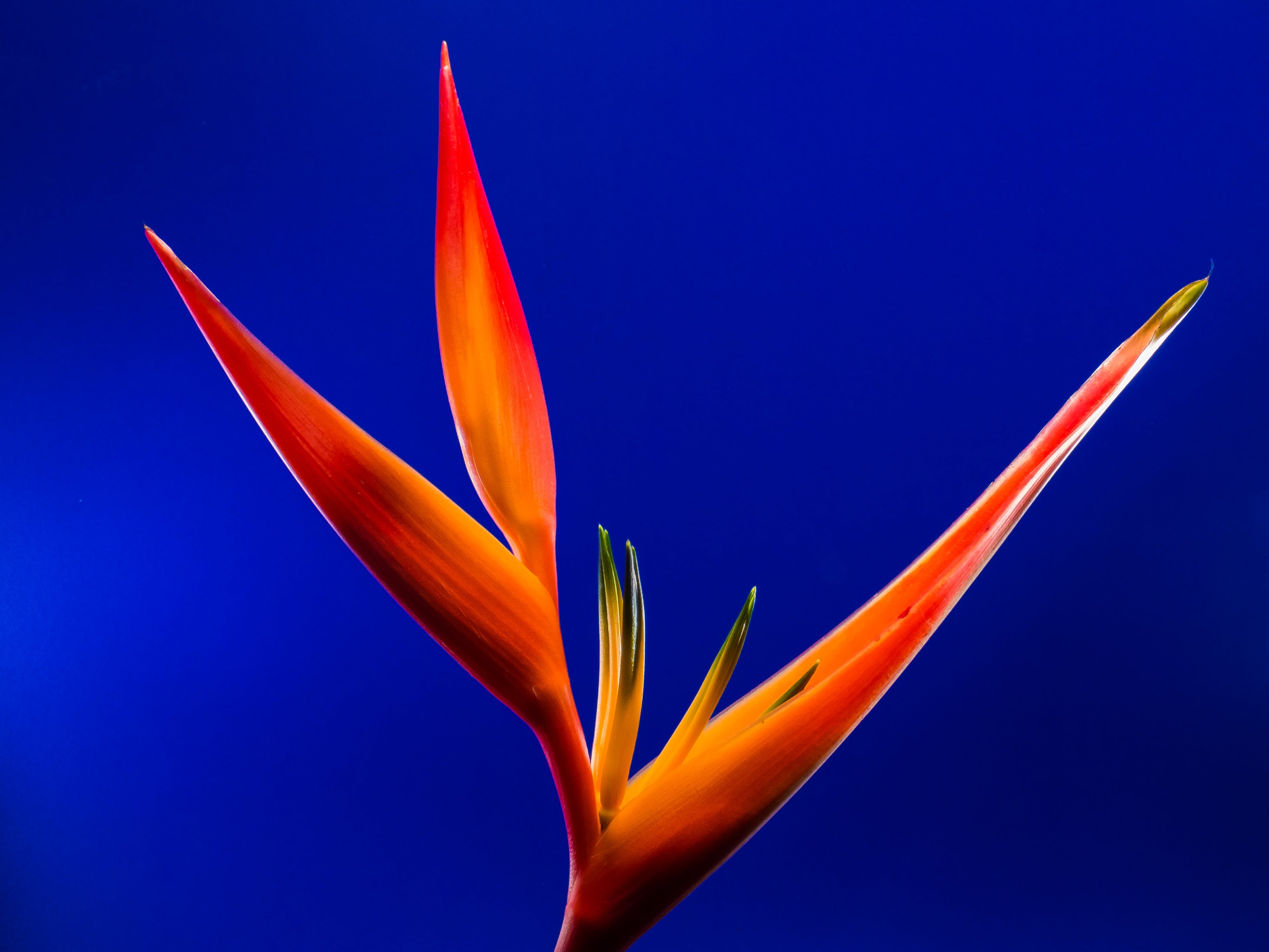 Birds of Paradise Flower in Macro Photography
